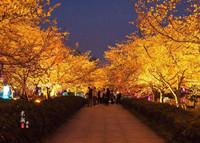 武汉樱园开启夜景模式,9000套灯组照亮夜樱之美!